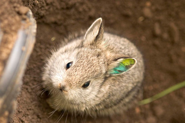 pygmy_rabbit
