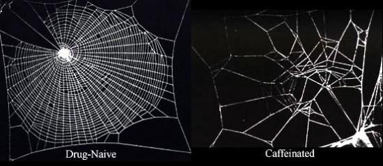 Effetto della caffeina sulla tessitura di un ragno: un disastro. Sono meno dannose marijuana e benzedrina (un'amfetamina)...